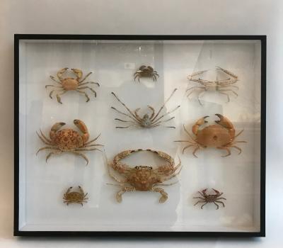 Crab specimen museum box